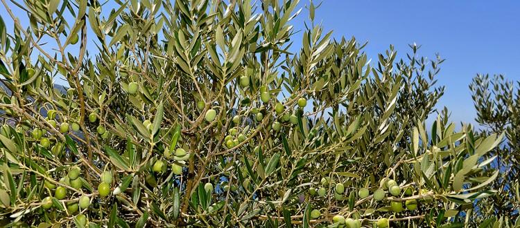 Olive Trees Lake Como