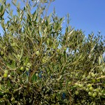 Larian Olive Oil, a delicious treat made in Como